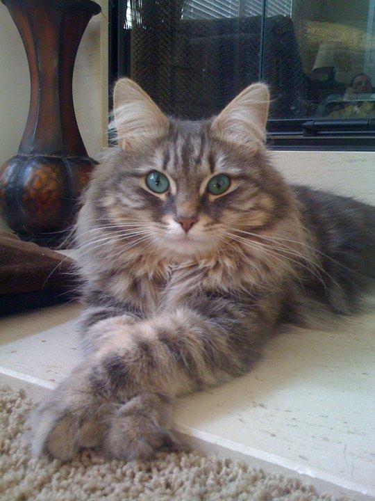 Love Those Siberian Cats Green Eyes ! - Croshka Siberians White Kitten With Blue And Green Eyes