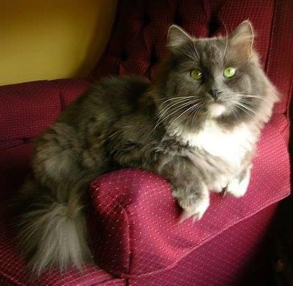 Love Those Siberian Cats Green Eyes Croshka Siberians