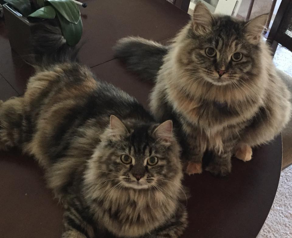Hypo-Allergenic Siberian Cats and Kittens for sale