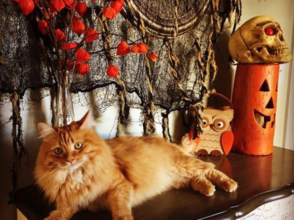 Falling for Siberian Cats