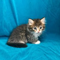 Available Brown mctabby white Male DOB 6/26/17