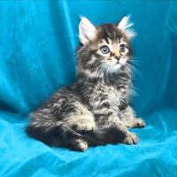 Available Brown mctabby Female DOB 6/26/17