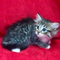 Available Brown mctabby white male DOB 5/24/17