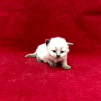 Sold  Seal Point Male DOB 7/14/17