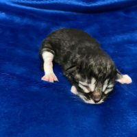 Available Black mctabby white male DOB 9/24/19