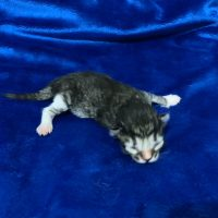 Available Brown mctabby white male DOB 9/24/19