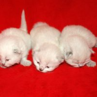 Sold Colorpoint F C Dob 7/5/18