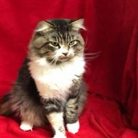 Available Rare Male Torbie Adult