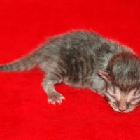 Available Blue mctabby M DOB 5/11/18