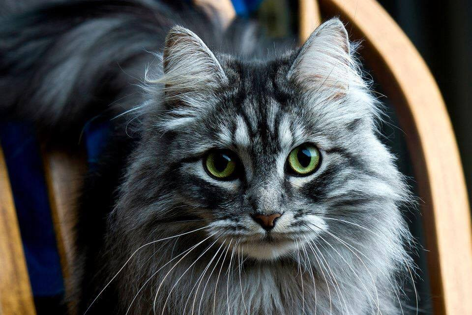 Love Those Siberian Cats Green Eyes Croshka Siberians